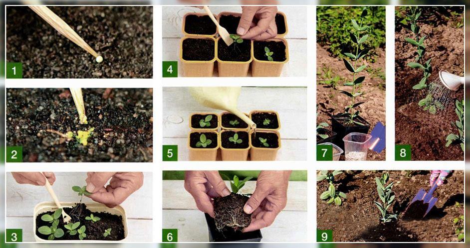 Сажаем семена на рассаду в домашних условиях