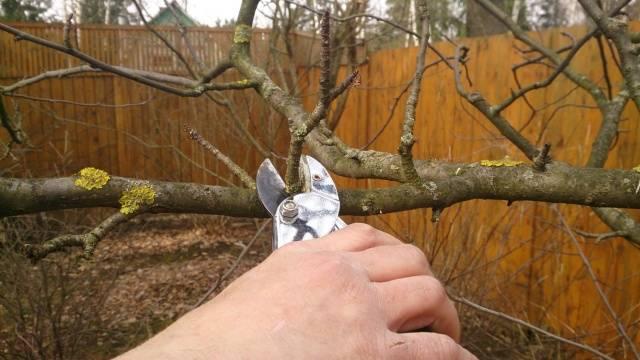 Обрезание веток плодовых деревьев